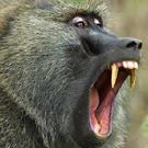ondjiviro-baboon