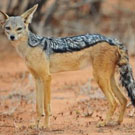 ondjiviro-black-backed-jackal