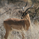 ondjiviro-black-faced-impala