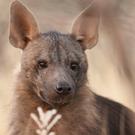 ondjiviro-brown-hyena