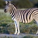 ondjiviro-burchells-zebra