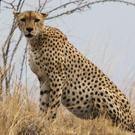 ondjiviro-cheetah