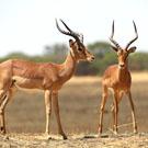 ondjiviro-impala-hunt-square