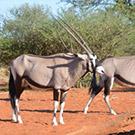 ondjiviro-oryx