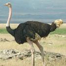 ondjiviro-ostrich