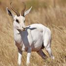 ondjiviro-springbuck-white