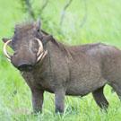 ondjiviro-warthog